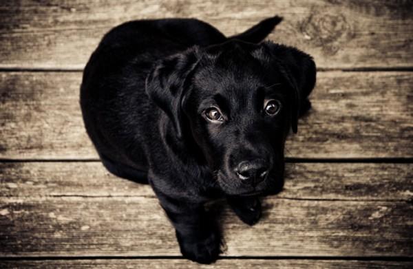 chien noir mignon